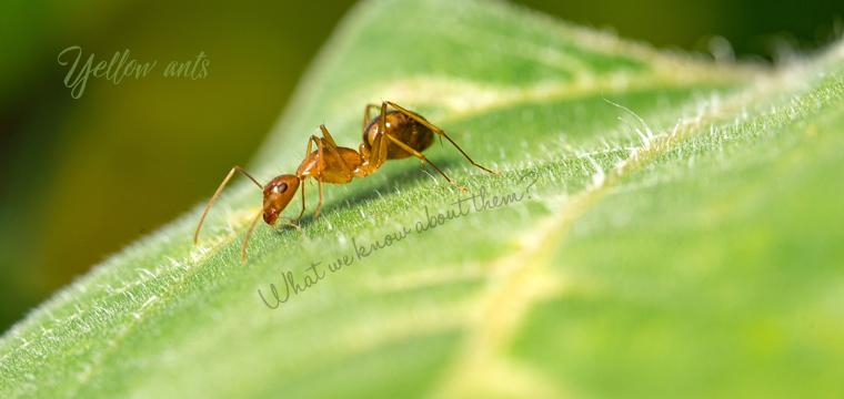 Yellow-ants