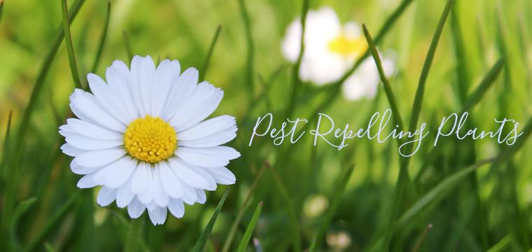 pest-repelling-plants
